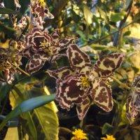 Орхидеи- леопардики :: Елена Лукожева