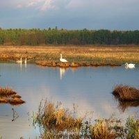 Лебеди на болотце. :: Антонина Гугаева