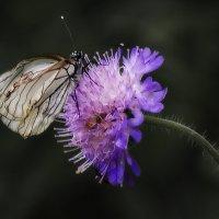 как бабочка на цветок :: Татьяна Чернова