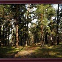 Сосновый лес :: Владимир Бровко