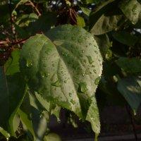 Листья дерева :: Максим Бондоренко