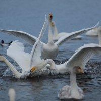 Лебеди на Алтае :: Евгений Кузнецов