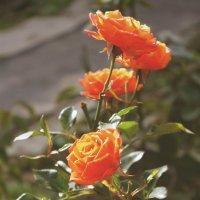 розы :: Анастасия Сулимова