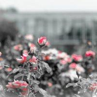 Roses :: Дмитрий Ковалев