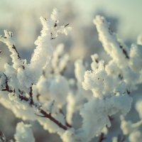 Снежный куст 1 :: Юрий Крутский