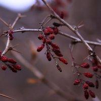 Так зимой выглядит барбарис.. :: татьяна вашурина
