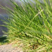 Зеленая трава :: Евгений .