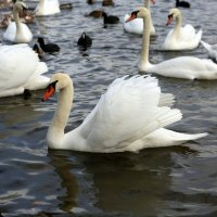 Лебедь :: Яэль (Юлия Ситохова)
