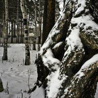 Старая береза :: Pavel Kravchenko