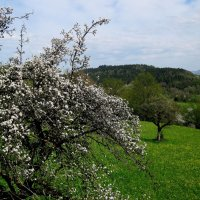 Один раз в год сады цветут... :: ФотоЛюбка *