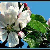 Цветы яблони :: Владимир Хатмулин