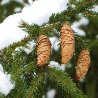 Елка в снегу :: ИРИШКА КАЗАКОВА