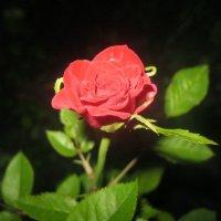 Роза :: Евгения Калинина