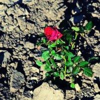 Роза :: Victoria Veber