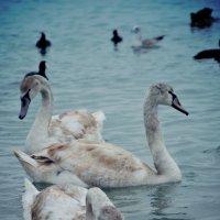 Лебеди :: Тамара Пейкова