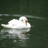 лебедь :: Инна Инна