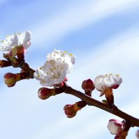 цветение абрикоса :: Надежда Ткаченко