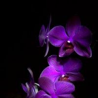 Орхидеи. :: Сергей Колесник