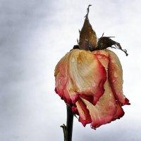 Слёзы розы :: ЮРИЙ КУЛАГИН
