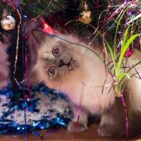 Соседи оставили кошку на время) :: Андрей Псурцев