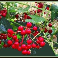 Цветущая трава и калина 4 :: Владимир Хатмулин