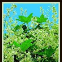 Цветущая трава и калина 1 :: Владимир Хатмулин