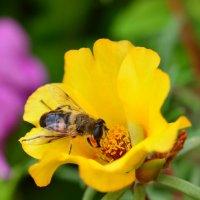 Пчела. :: Геннадий Оробей