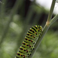 зеленая гусеница :: Елена Егорова