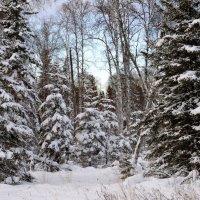 Зимний лес :: Сергей Бушуев