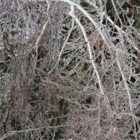 Береза в ледовом плену :: May Krukova