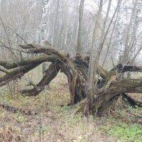 Дерево-паук :: Наталья Лебедева