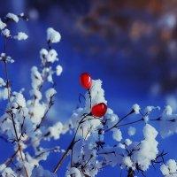Морозного дня ягоды :: Александр | Матвей БЕЛЫЙ