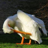 пеликан чистит перышки :: Лидия Юсупова