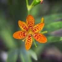 Хищный цветок :: Светлана Белова (Груздева)