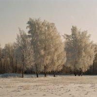 Деревья в снегу :: Виталий Волков