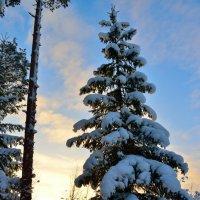 Зимняя ёлка :: Аркадий Алямовский
