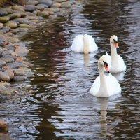 Лебеди :: Павел Белоус