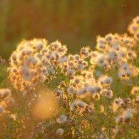 полевые цветы :: Наталья Добровольская