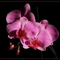 Орхидея... :: Владимир Секерко
