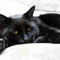 Чёрный кот :: Елена Севастьянова
