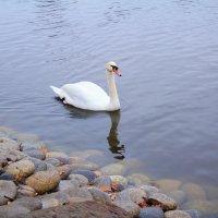 Одинокий лебедь :: Павел Белоус