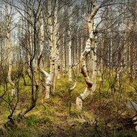 В скрюченном лесу... :: Алла Рыженко