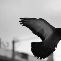 голубка :: юрий мотырев