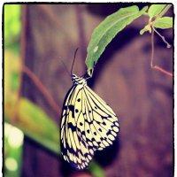 Бабочка висящая с листика :: Natalya секрет