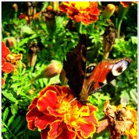 Бабочка :: Евгений Кочуров