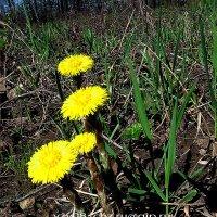 Весна  одолела... :: Игорь Пляскин