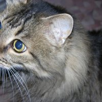 Мой старичек котик :: наталья грачева