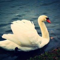 Белый Лебедь :: Евгешка Храмова