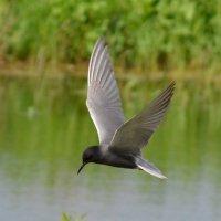 Озёрная чайка :: NICKIII Михаил Г.
