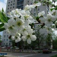 Белое чудо... :: Сергей Князь